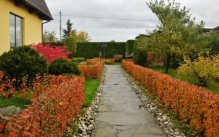 Lesklý živý plot skalního: schéma výsadby + doporučení péče